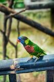 Green Rainbow Lorikeet parrots (Trichoglossus haematodus) Royalty Free Stock Photo
