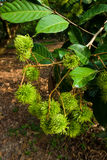 Green rambutan. Rambutan,an Asian fruit,warm climate fruit Stock Images