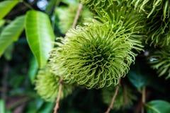 Green rambutan. Close up of immature rambutan have green color on the tree Stock Photos