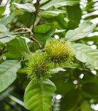 Green Rambutan on tree Royalty Free Stock Photography