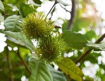 Green Rambutan on tree Stock Images