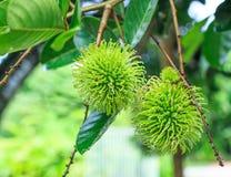 Green rambutan Stock Image