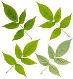 Green Raspberry leaf Stock Image