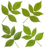 Green Raspberry leaf Royalty Free Stock Photography