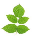 Green raspberry leaf. Isolated on a white background Stock Image