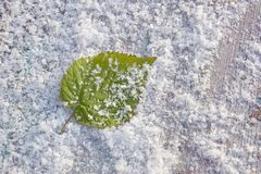Raspberry leaf in snow freshness cold frosty background close-up. Green raspberry leaf in snow freshness cold frosty background close-up royalty free stock photography
