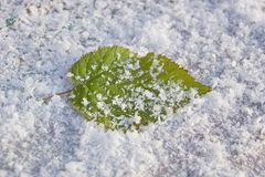 Raspberry leaf in snow freshness cold frosty background close-up. Green raspberry leaf in snow freshness cold frosty background close-up stock image