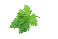 Green raspberry leaf. On a white background Stock Photo