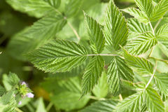 Green raspberry leaves Stock Photography