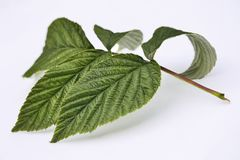 Green raspberry leaves  on white background. Green fresh raspberry leaves close up,  on a white background Stock Images