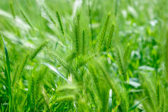 Green rass spikes background Royalty Free Stock Photography