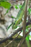 Green Rat Snake coming down Stock Images