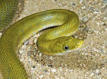 A Green Rat Snake (Elaphe Prasina) Royalty Free Stock Image