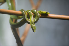 Green rat snake. Red Tailed Green Rat Snake Stock Photo