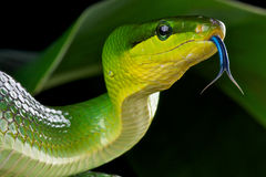 Green ratsnake. The Green Ratsnake / Gonyosoma oxycephala is a large tree-dwelling snake species from Southeast Asia Stock Images