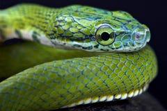 Green ratsnake (Rhadinophis prasinum) Royalty Free Stock Image