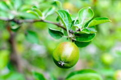 Green raw apple Royalty Free Stock Photography