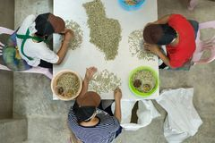 Coffee bean. Green raw coffee beans being sorted out by farmer in Thailand Royalty Free Stock Image