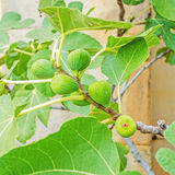 Green raw figs on fig tree Stock Photos
