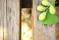 Green raw ginkgos and leaves on a wooden table. In the image, there are some green ginkgos and leaves on a wooden table Stock Image