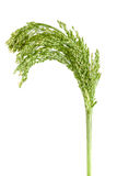 Green raw millet isolated on white background Stock Photos