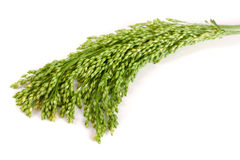 Green raw millet isolated on white background Stock Image