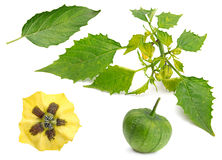 Green raw physalis Royalty Free Stock Images