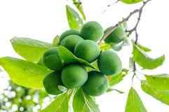 Green raw plums vegetables tree farm Royalty Free Stock Photo
