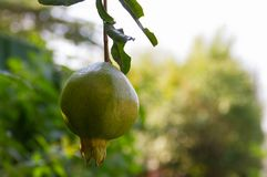 Pomegranate fruit. Green raw Pomegranate fruit hanging on the trees in the garden, with a natural background Royalty Free Stock Image