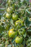 Green raw tomatoes in the garden Royalty Free Stock Images