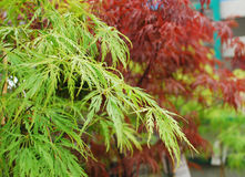 Green and Red Acer Leaves Stock Image