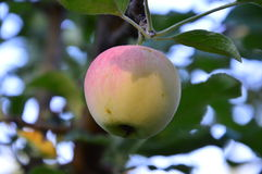 Green-red Apple growing on an Apple tree branch. Royalty Free Stock Images