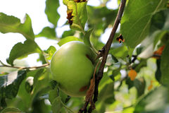 Green And Red Apple Hanging On Tree Royalty Free Stock Images