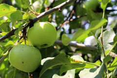 Green And Red Apple Hanging On Tree Royalty Free Stock Photos