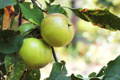 Green And Red Apple Hanging On Tree Stock Image