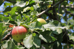 Green And Red Apple Hanging On Tree Royalty Free Stock Photography