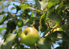 Green And Red Apple Hanging On Tree Stock Photo