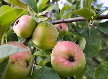 Green-red apples on the apple tree branch Royalty Free Stock Photo