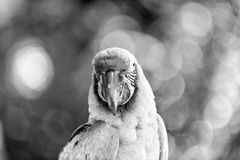 Green and red ara parrot outdoor Royalty Free Stock Photo