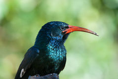 Green red-billed wood hoopoe Stock Photography