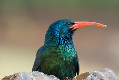 Green red-billed wood hoopoe adult male. Close-up of adult male green red-billed hoopoe Royalty Free Stock Photography