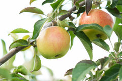 Green red bio natural apples Stock Image