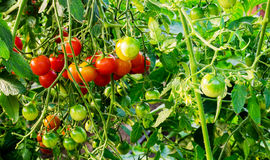 Green, red cherry tomatoes growing in the garden. Stock Images