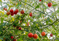 Green, red cherry tomatoes growing in the garden. Royalty Free Stock Photo