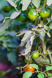Green and red cherry tomatos. Closeup of red and green cherry tomatos Royalty Free Stock Photos