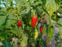 Chilly. Green red chilly garden royalty free stock photography