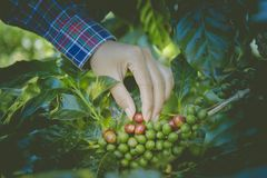 Green and red coffee beans from these high mountain fincas are painstakingly hand picked as they ripen. At Little house in the big Woods, initiation Doi Phahom Stock Image