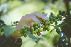 Green and red coffee beans from these high mountain fincas are painstakingly hand picked as they ripen. At Little house in the big Woods, initiation Doi Phahom Stock Photography