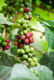 Green and red coffee beans Stock Image