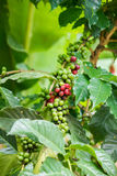 Green and red coffee beans Royalty Free Stock Photos